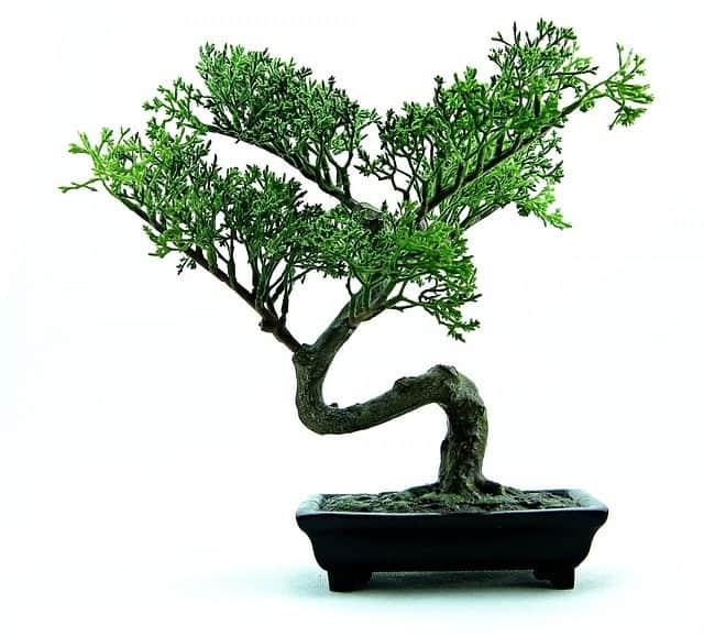 bonsai training