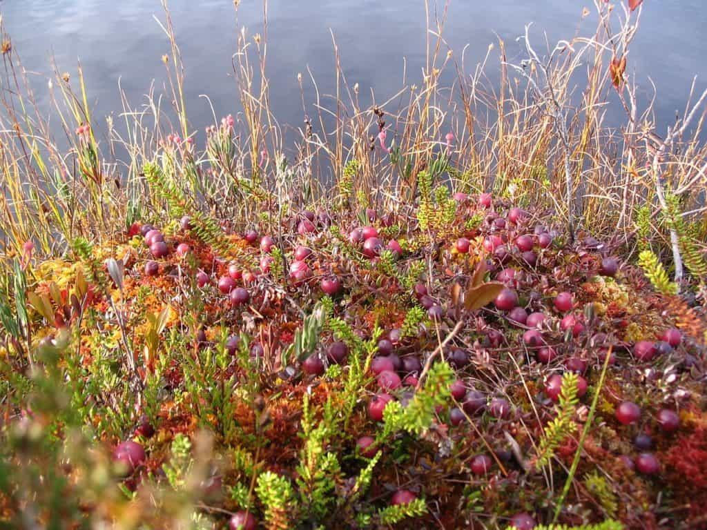 native cranberries